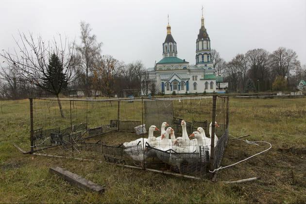 Les oies de Naroditchi en Ukraine