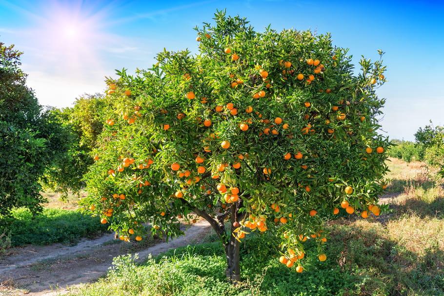 Agrumes: liste et conseils pour cultiver les Citrus en pot ou en pleine terre