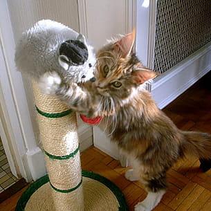 ce chaton maine coon joue avec tout.