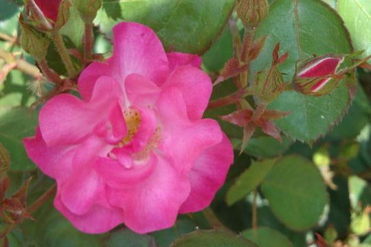 Rose merveilleuse