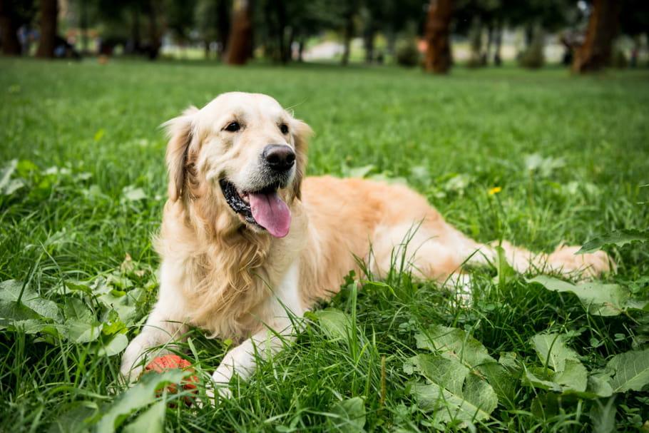 Labrador ou Golden retriever: lequel choisir?