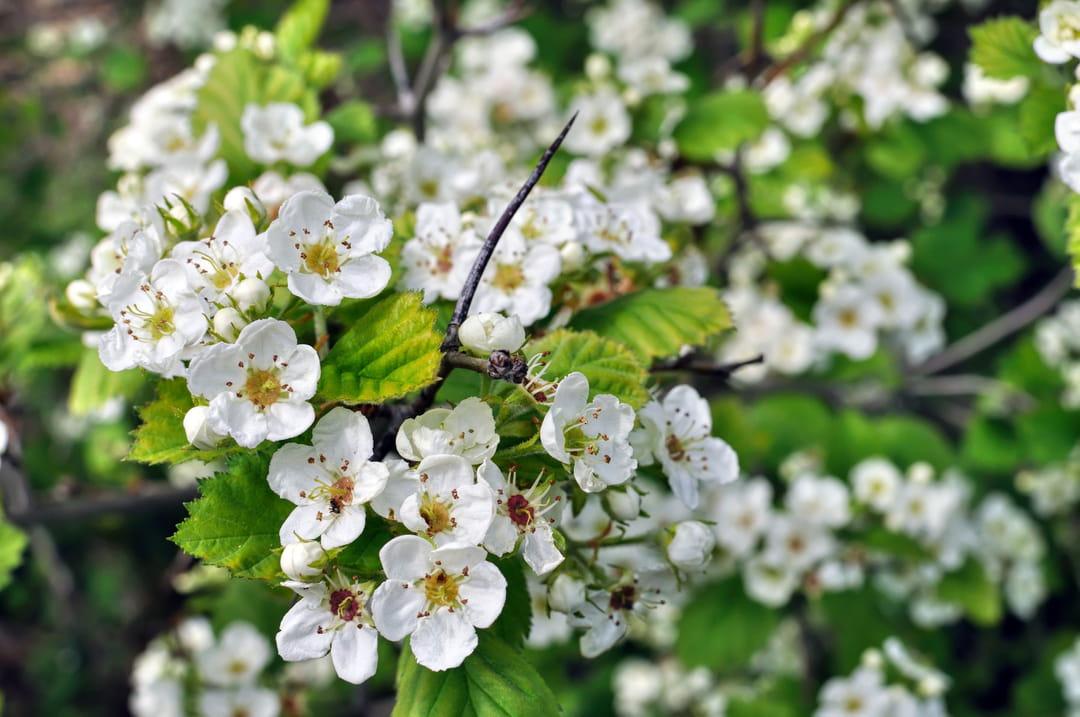 aubepine-en-fleurs