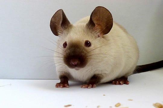Franklin, une souris siamoise