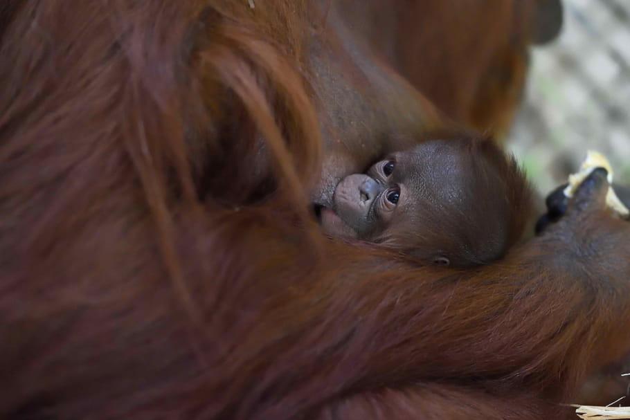 Naissance d'un orang-outan à la Ménagerie du Jardin des plantes