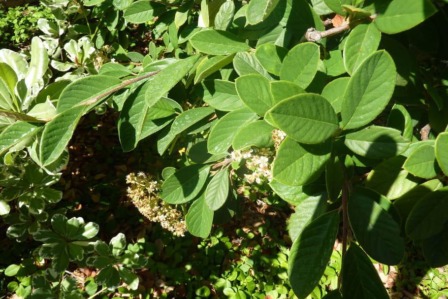 Qu'est-ce qu'un arbuste à feuillage persistant ?