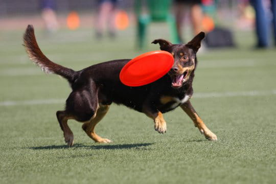 Origine du Dog Disc