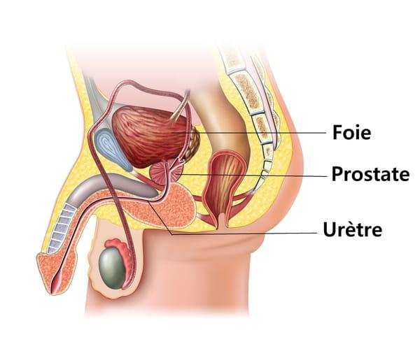 Qu'est-ce que la prostate ?