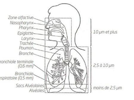 Schéma relatif à la pénétration des particules dans l'organisme (réalisé sur la base d'un dessin du Dr J. Harkema)