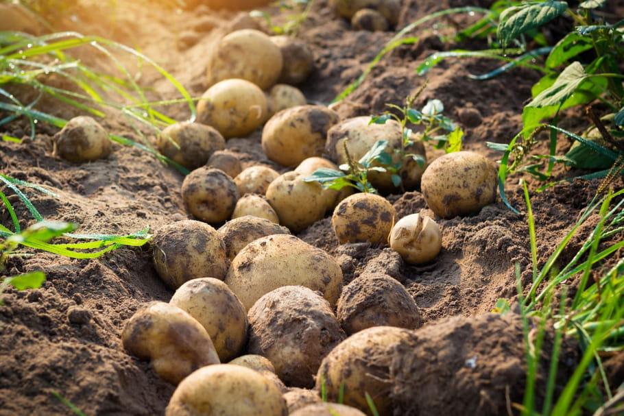 La pomme de terre de Noirmoutier obtient son label IGP