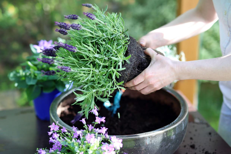 Comment Sauver Un Oranger Du Mexique lavande : planter, entretenir, tailler, récolter et variétés