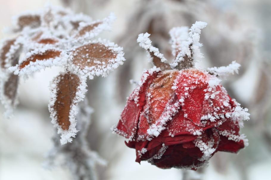 Protéger les rosiers du froid