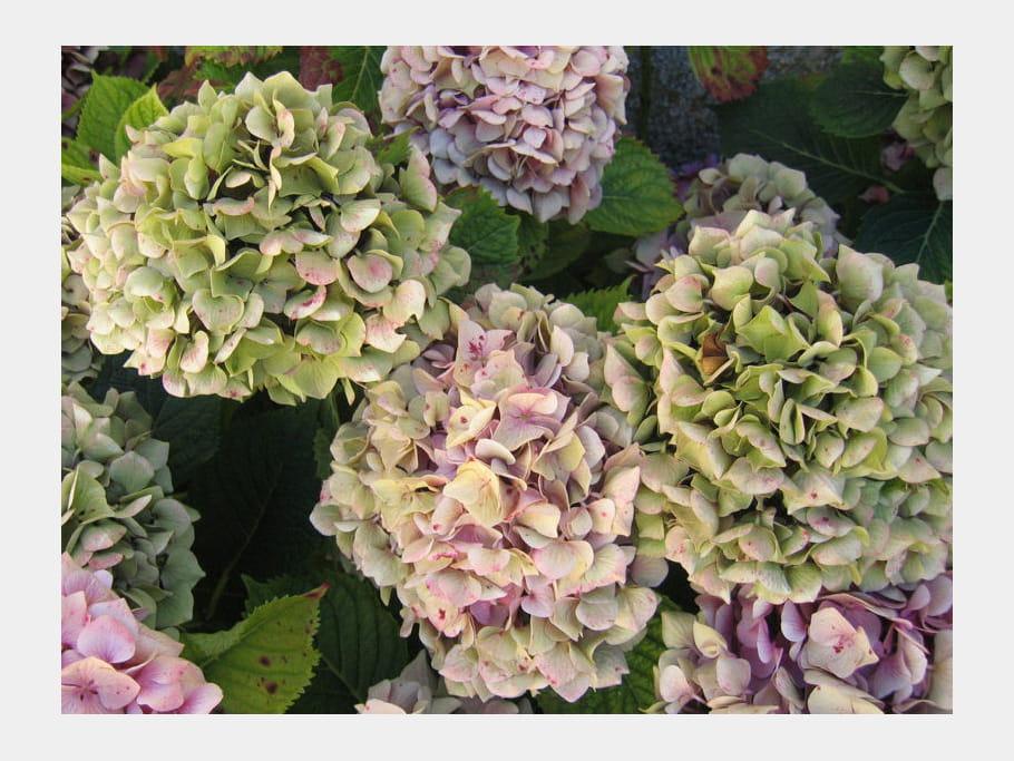 Hortensia rose et vert