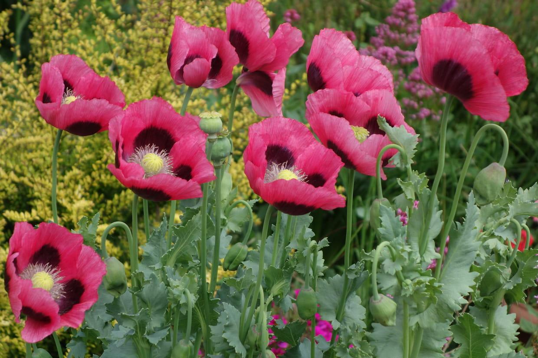 Quand Faut Il Semer Les Tournesols pavot : planter, semer, variétés et couleurs de papaver