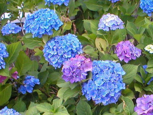 Des hortensias bleu et mauve