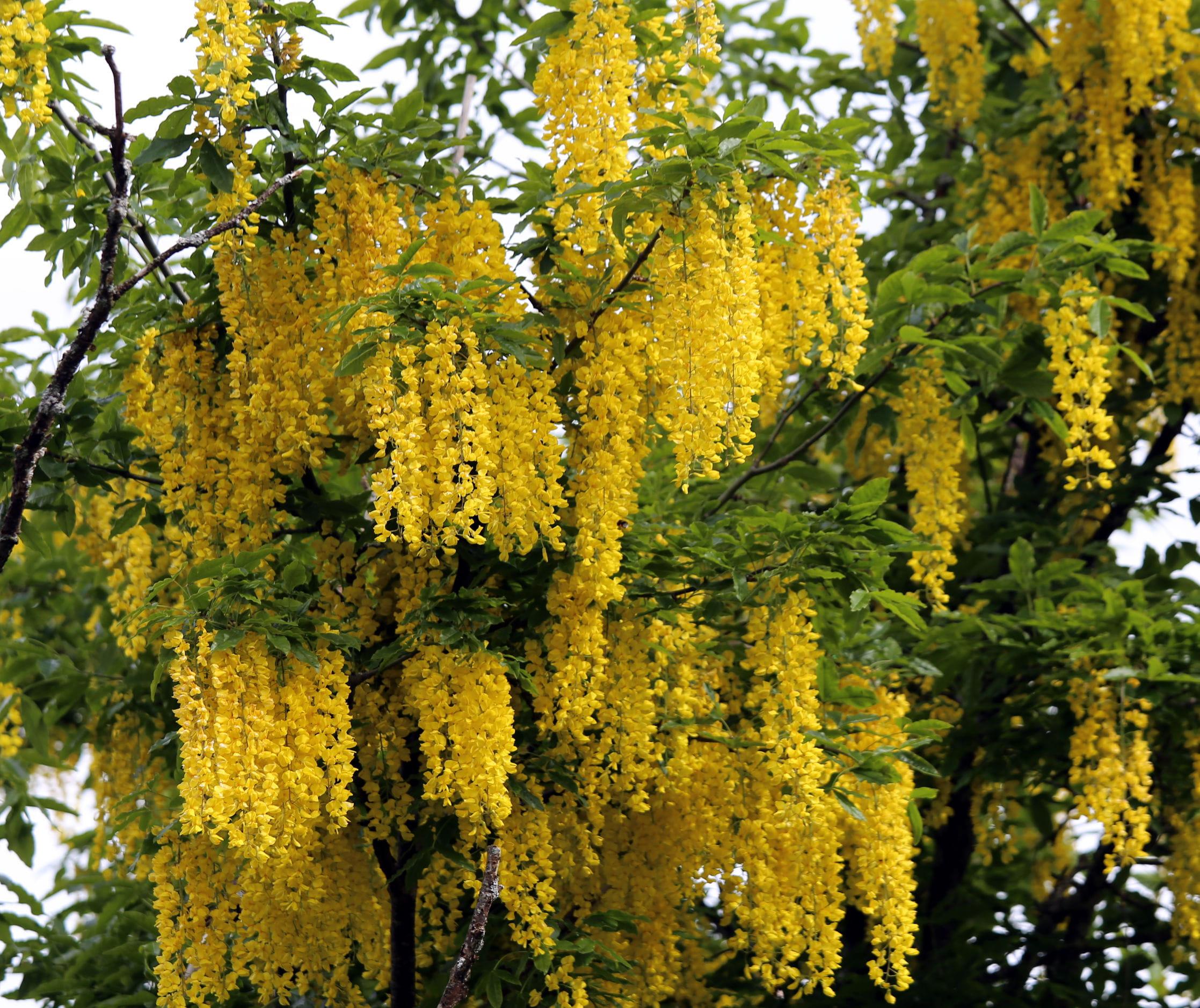 Arbuste Fleuri Feuillage Persistant 10 arbres rustiques à planter
