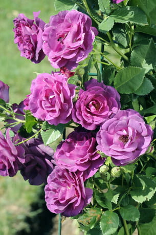la rose 'audacieuse 21'®