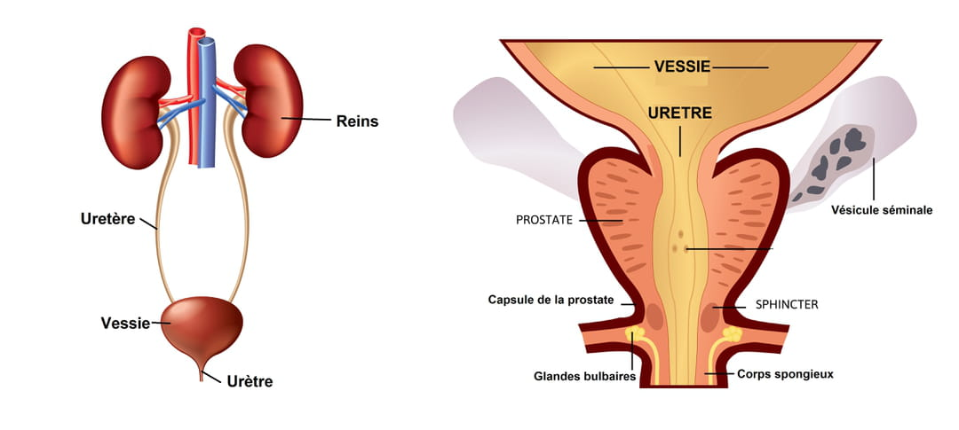 Schéma de la vessie