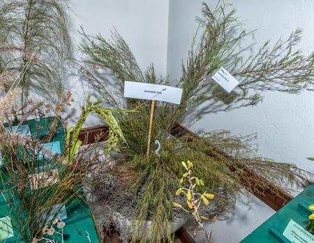 plante-rooibos-photo