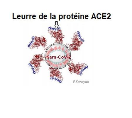 schéma du leurre de la protéine ACE2