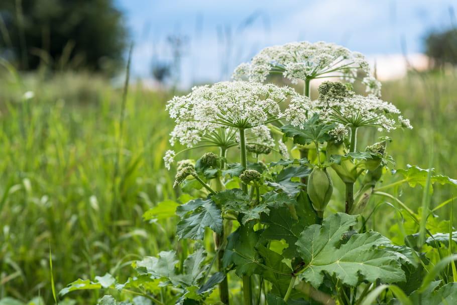Prenez garde à la berce du Caucase, cette plante à la sève toxique