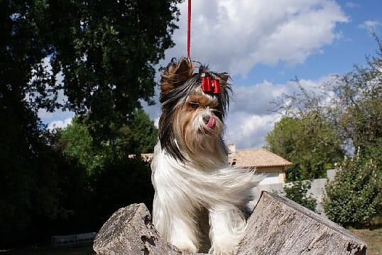 Biewer Yorksire terrier