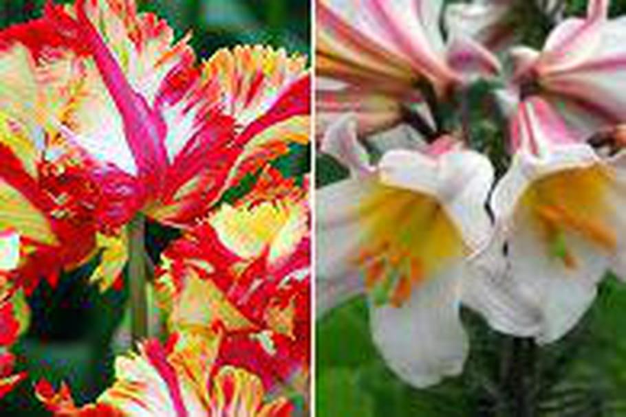 Tulipa 'Flaming Parrot' et Lilium Regale, élus bulbes de l'année par les internautes