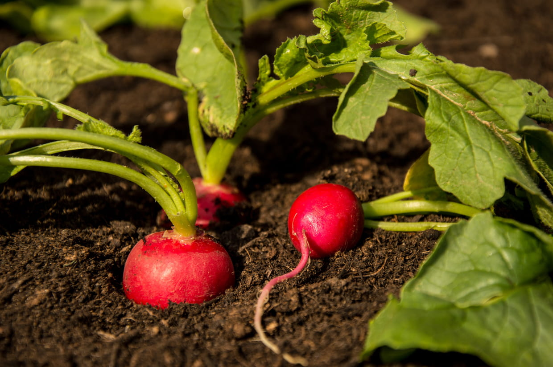 Quel Semis Faire En Septembre radis : semer, planter, éclaircir et récolter
