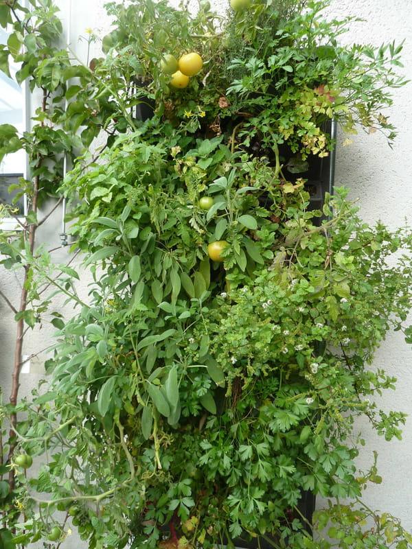 mur-vegetal-avec-tomates