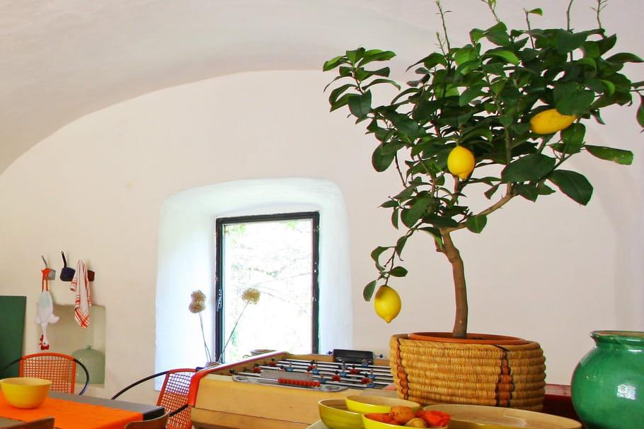 quand et comment rempoter un citronnier. Black Bedroom Furniture Sets. Home Design Ideas