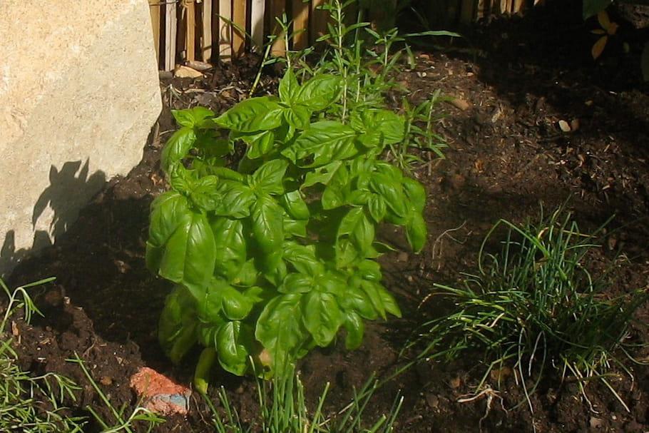 Cultiver du basilic: semis, plantation, arrosage, entretien et récolte