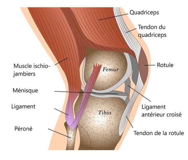 ligament-schema-genou-image