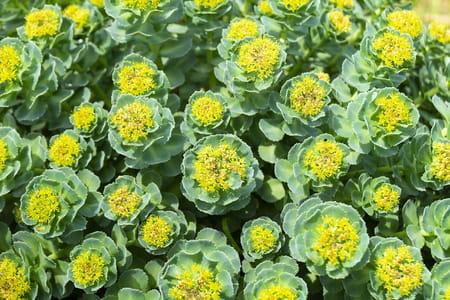 fleur de rhodiole