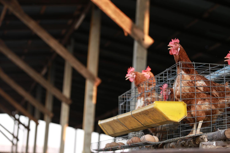 Grippe aviaire(AH5N8): symptômes, transmission, en France