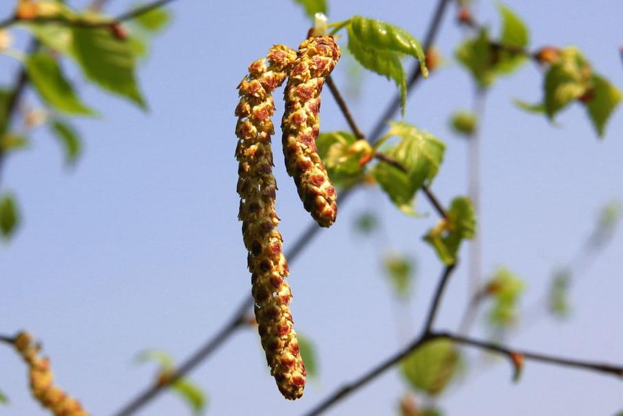 Les pollens de bouleau envahissent la France