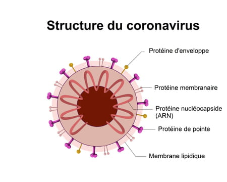 Structure du coronavirus