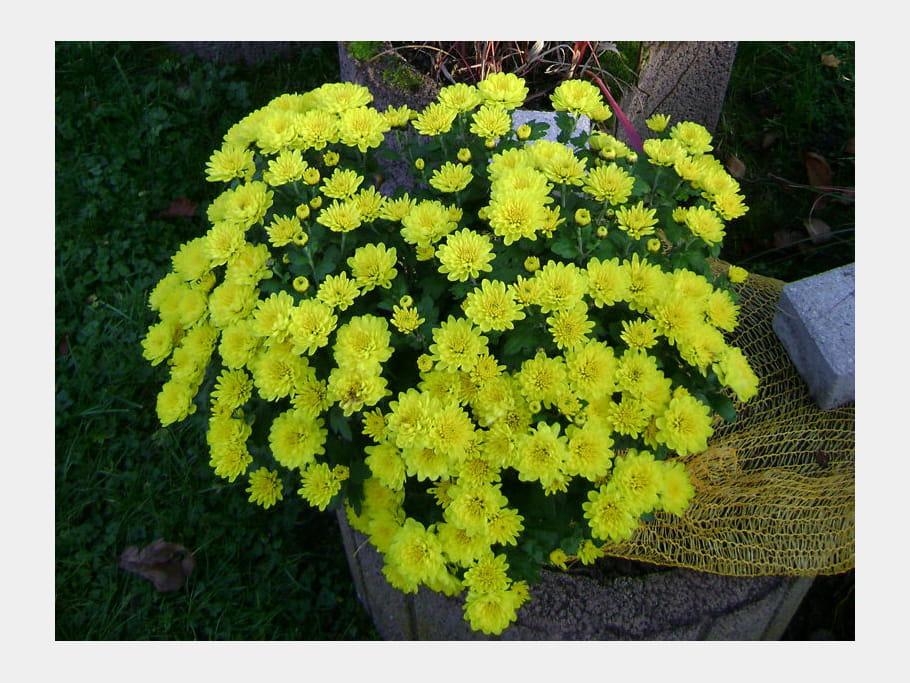 Chrysanthème jaune citron