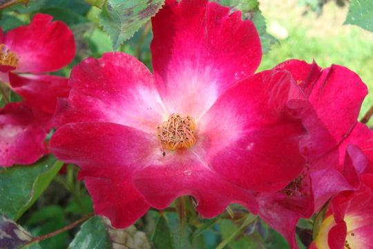 Un cocktail de roses