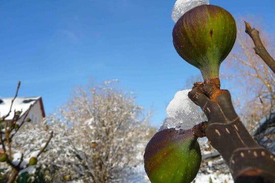 Des figues sous la neige