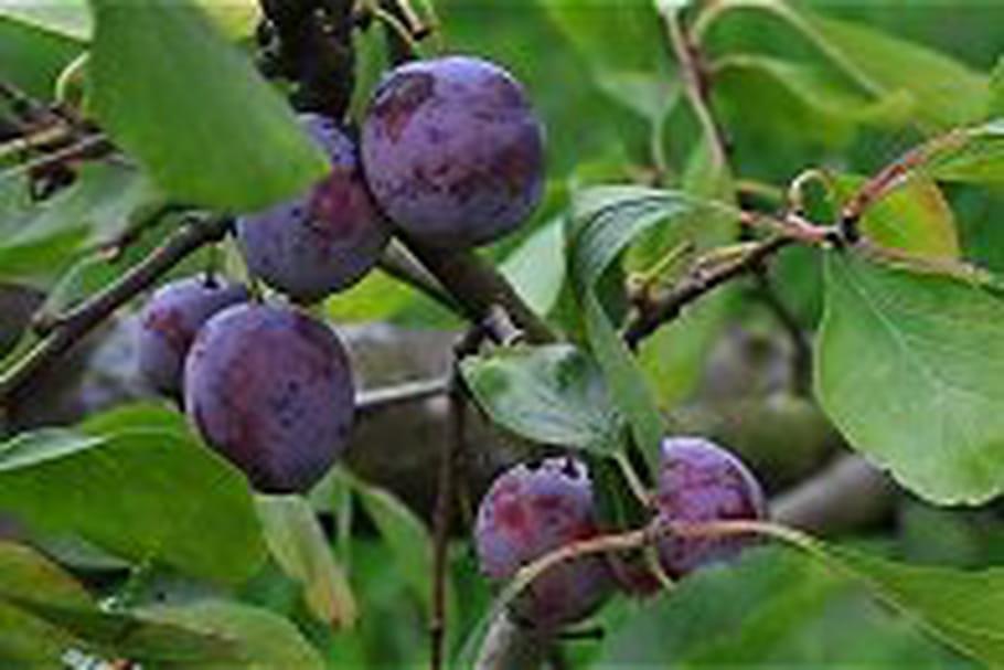 """Les producteurs de prunes remboursent vos """"prunes"""""""