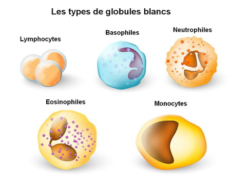 Types de globules blancs