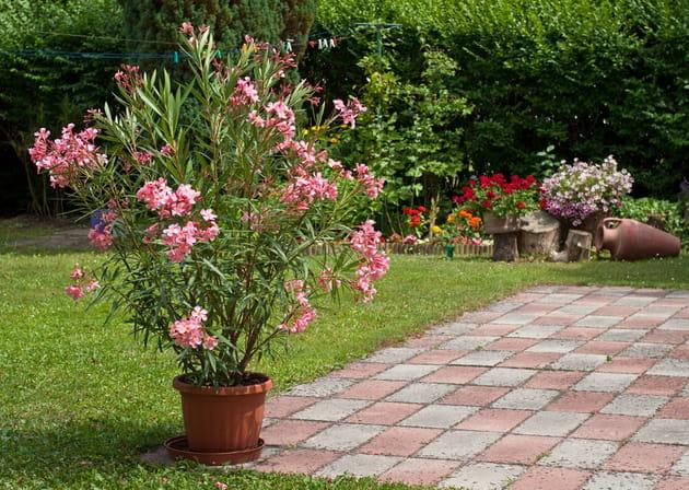 Laurier rose, hortensia, narcisse: gare au jardin!
