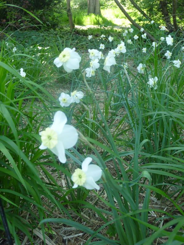 narcisse-tazetta-segovia