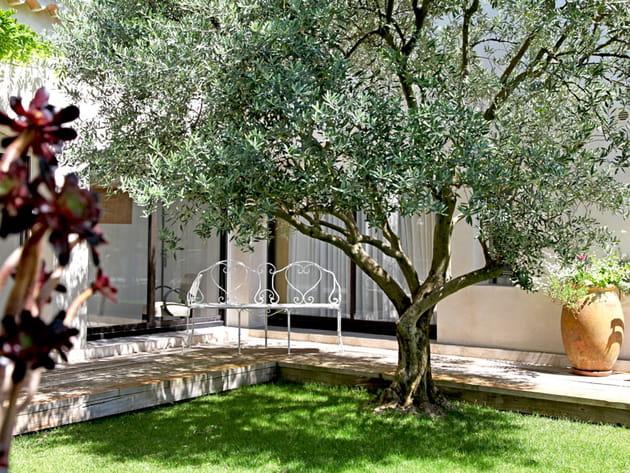 Un olivier dans le patio