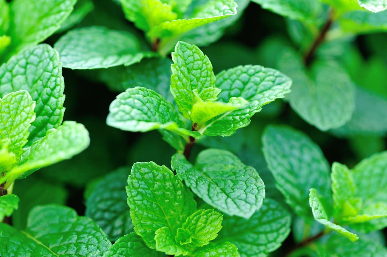 Planter Menthe En Pot menthe : planter, entretenir, arroser et récolter