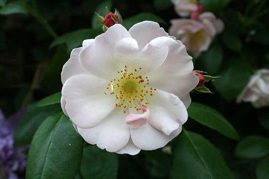 Sourire d'orchidée pour une rose