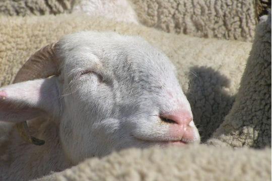 Il compte les moutons