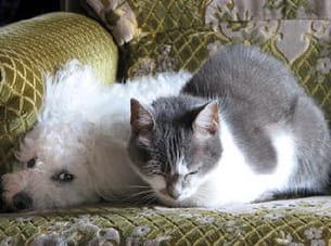 raphia (bichon frisé) et choupette (chat de gouttière)