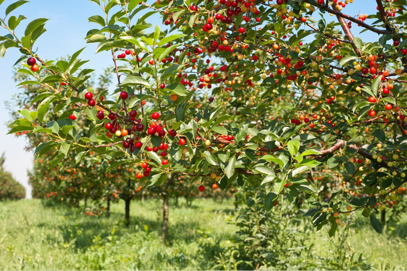 Quand planter un cerisier ?