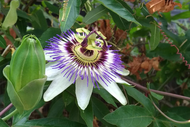 Quand Et Comment Tailler Une Passiflore passiflore : planter, semer, entretenir, tailler et bouturer