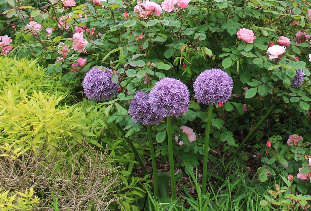 Arbuste Persistant En Pot Plein Soleil 4 plantes plein soleil sans arrosage (ou très peu !)